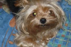 Unibelle, chien Yorkshire Terrier