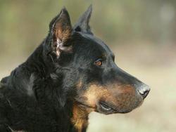 Unita, chien Beauceron