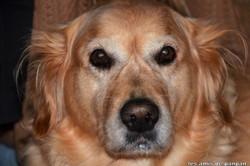Unless, chien Golden Retriever