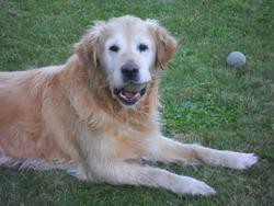 Uno, chien Golden Retriever