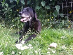 Uno, chien Labrador Retriever