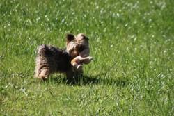 Upper, chien Yorkshire Terrier