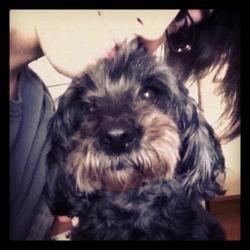 Upsie, chien Caniche