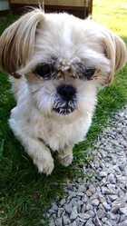 Upsie, chien Shih Tzu