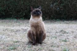 Upsy, chat Siamois