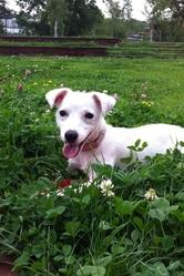 Uranie, chien Jack Russell Terrier