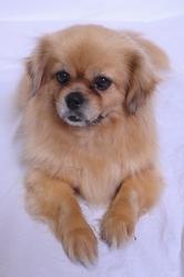 Uranie, chien Épagneul tibétain
