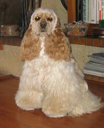 Uranus, chien Cocker américain