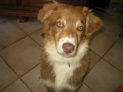 Elfie , chien Berger australien