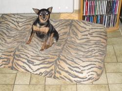 Urekas, chien Pinscher