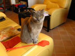 Urfée, chat Chartreux