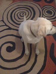 Urfie, chien Labrador Retriever