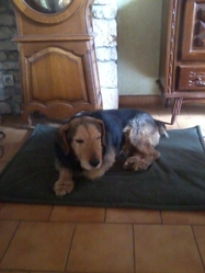 Urgo, chien Jagdterrier