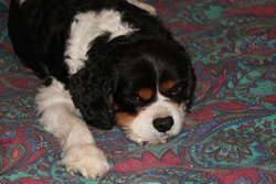 Urhan, chien Cavalier King Charles Spaniel