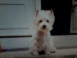 Uriana, chien West Highland White Terrier