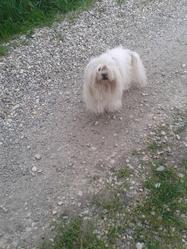 Uros, chien Bichon maltais