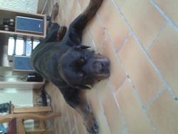 Uroy, chien Rottweiler