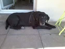 Urrika, chien Labrador Retriever