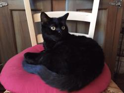 Ursula, chat Européen