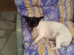 Ursula, chien Jack Russell Terrier