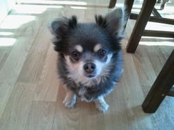 Annissette, chien Chihuahua