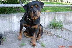 Urus, chien Rottweiler