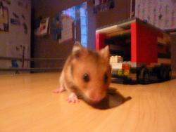 Usagi, rongeur Hamster