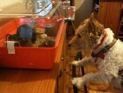 Usher, chien Fox-Terrier
