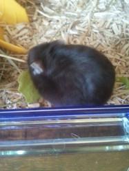 Usher, rongeur Hamster