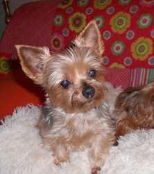 Ushka, chien Yorkshire Terrier