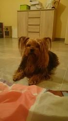 Usis, chien Yorkshire Terrier