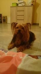 Usis, chien Yorkshire Terrier