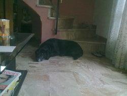 Uska, chien Labrador Retriever
