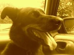 Uski, chien Beauceron