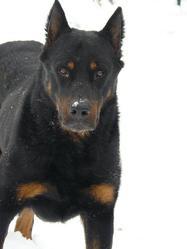Usko, chien Beauceron