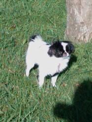 Usoa, chien Épagneul japonais