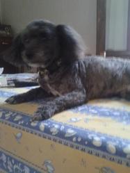 Usty, chien Caniche
