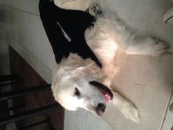 Utah, chien Golden Retriever