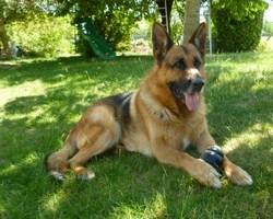 Utah, chien Berger allemand