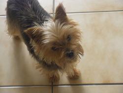 Utesse, chien Yorkshire Terrier