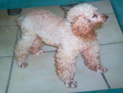 Utrillo, chien Caniche
