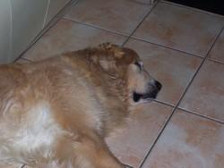 Uttligen, chien Golden Retriever