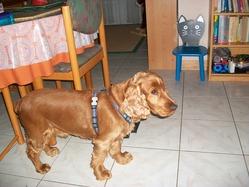 Utys, chien Cocker anglais