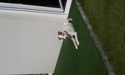 Utzo, chien Parson Russell Terrier