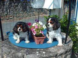 Uxane, chien Cavalier King Charles Spaniel