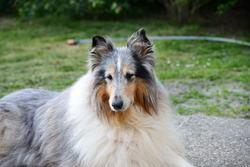 Uza, chien Colley à poil long