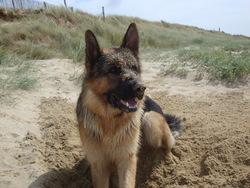 Uzzo, chien Berger allemand