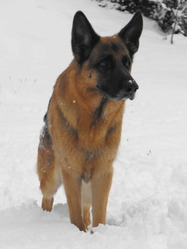 V'Ares, chien Berger allemand