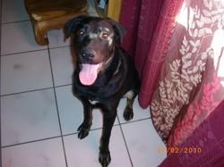 Véronne, chien Beauceron