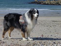 V'Wade Blue De L'Orée Des Charmois, chien Berger australien
